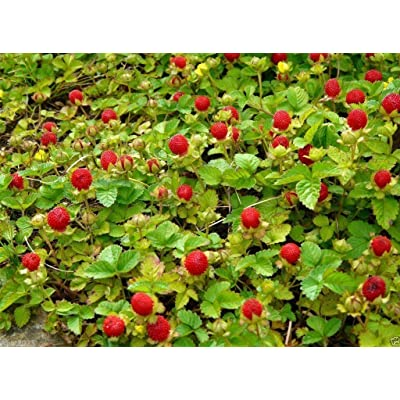 Indian strawberry Seeds a.K.a, Gurbir, Mock or false strawberry- Duchesnea (100 Seeds) : Garden & Outdoor