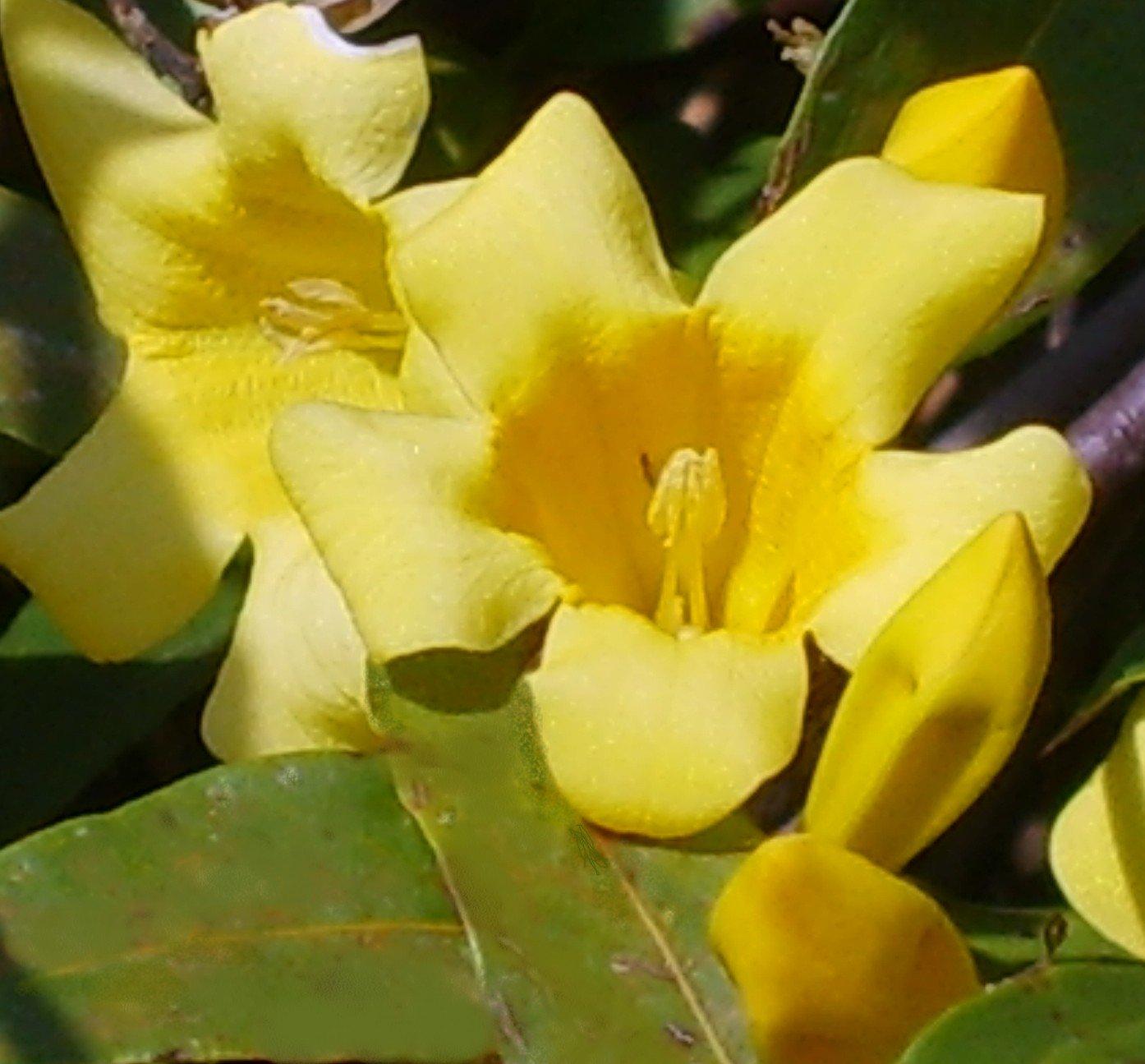 Amazon carolina swamp jasmine gelsemium rankinii rare twice amazon carolina swamp jasmine gelsemium rankinii rare twice blooming type flowering plants garden outdoor izmirmasajfo