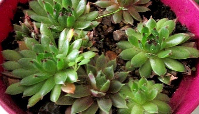 Amazon.es: Portal Cool Casa puerros Gallinas-Polluelos Hada del jardín de rocalla-Casa--10 X-suculento de Sempervivum: Juguetes y juegos