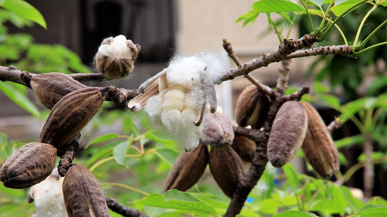 Amazon com : 10 Red Silk Cotton Tree Bombax Ceiba Kapok