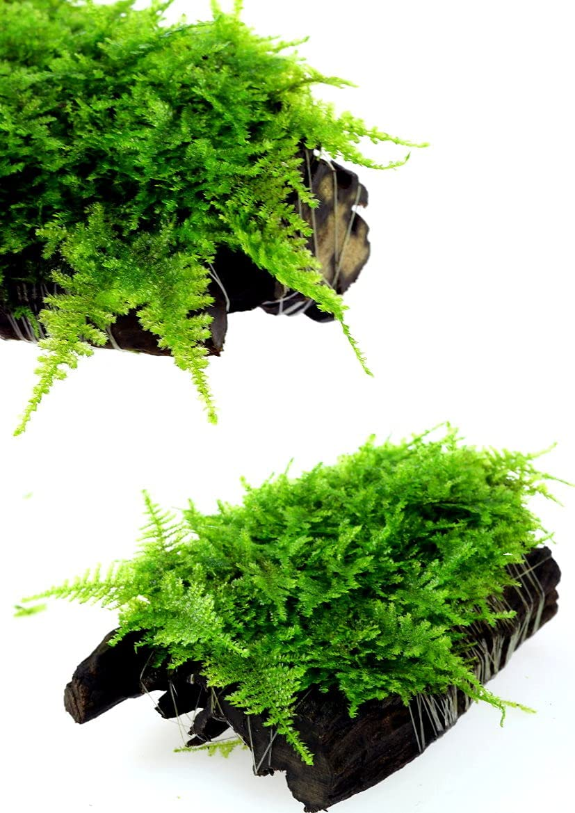 Live Aquarium Water Plants Taiwan Moss on Driftwood for Freshwater Fish Tank Decorations Easy Low Light Betta Nano Decor Soft and Comforting for Fish Shrimp's & Fry's Food (1)