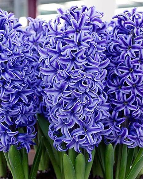 Amazon Com Hyacinth Blue Jacket Bulbs 20 Bulb Beautiful