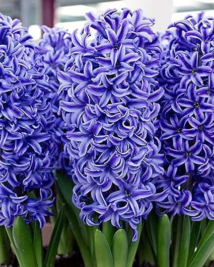Amazon hyacinth blue jacket bulbs 20 bulb beautiful blue hyacinth blue jacket bulbs 20 bulb beautiful blue perennial hyacinth bulbs mightylinksfo