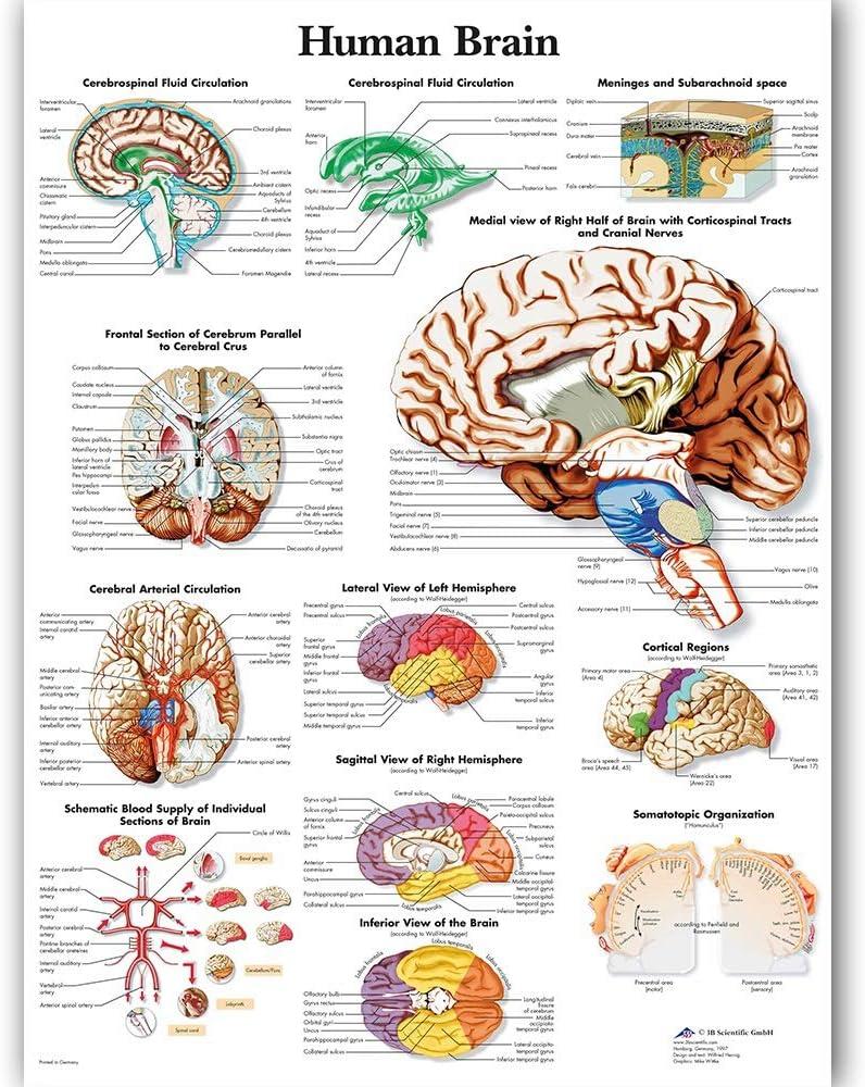 HCHD Gráfico Cabeza Humana Cartel Mapa de Aceite Pintura Pintura Mural Imágenes for la educación médica Doctores Office Aula Inicio Lona de la decoración (Size (Inch) : 60x80cm)