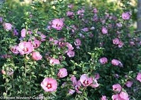 Amazon Com 3 Plants 4 Up Shrubs Trees Hibiscus Rose Of