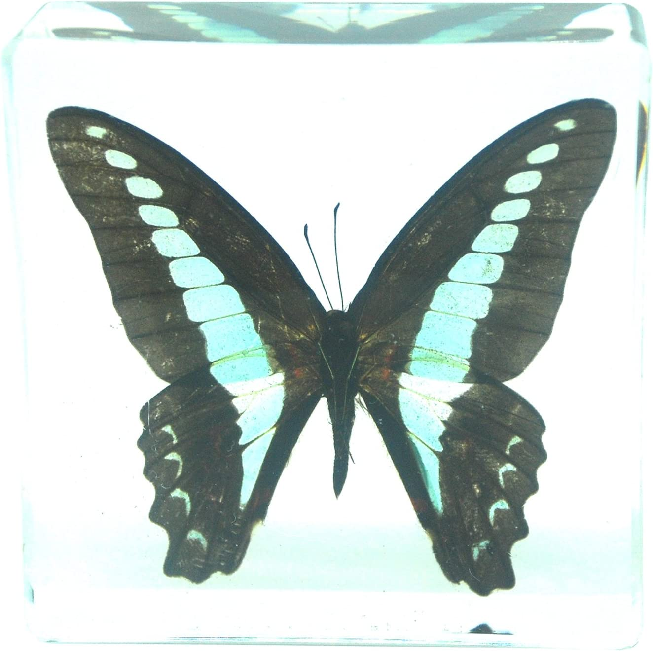 Real Blue Tiger Butterfly Paperweight Insect Specimen Taxidermy