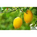 Nelesa Gardening Live Gandharaj Lemon Fruit Plant