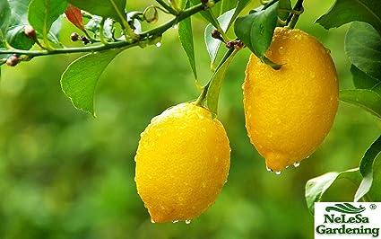 efcd8bcfad2c Nelesa Gardening Live Gandharaj Lemon Fruit Plant
