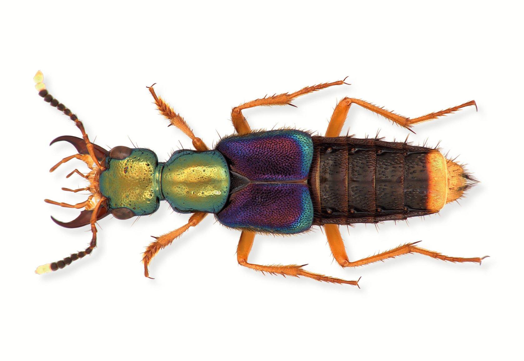 A Box of Beetles: Amazon.de: Patrice Bouchard: Fremdsprachige Bücher