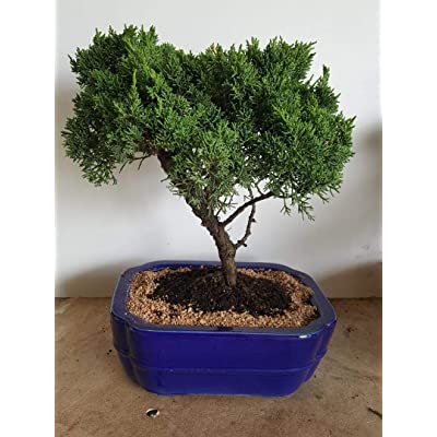 Indoorbonsaiandexotics Juniper Trained Bonsai Tree: Garden & Outdoor [5Bkhe0105325]