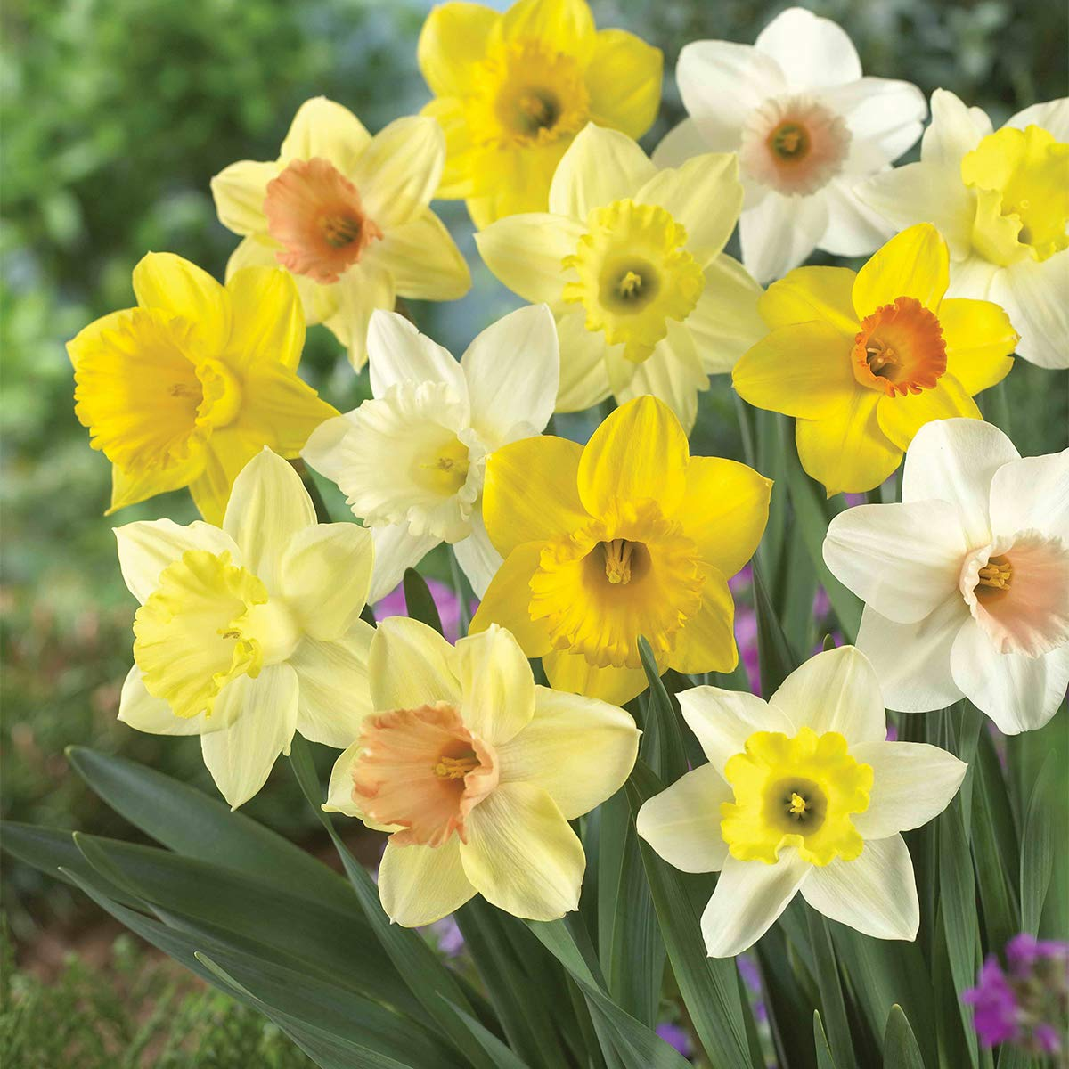 Burpee's 100 Days Daffodil - 25 Large Flower Bulbs   Yellow, Gold, and White by Burpee