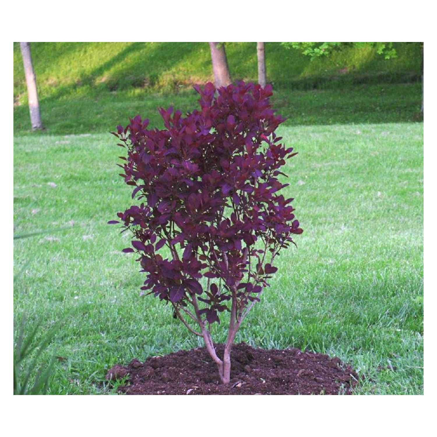 Royal Purple Smoketree Cotinus Coggygria Heavy Established Roots 1 Trade Gallon Pot - 1 plant by Growers Solution