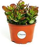 "Shop Succulents Jade Plant - Crassula Ovata - Easy To Grow - 4"" Pot"