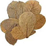 Tantora Premium Indian Almond Catappa Leaves Size Extra Large - 50 Leaves 18-30 cm (7-12 inches)