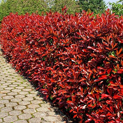 Glanzmispel Red Robin P9 - 20 heckenpflanzen