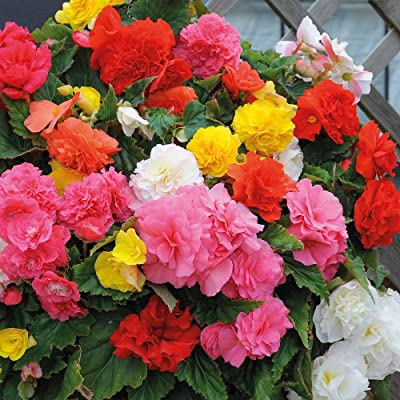 30+ Begonia Mix Flower Seeds / Drought Tolerant, Shade Loving Annual : Flowering Plants : Garden & Outdoor