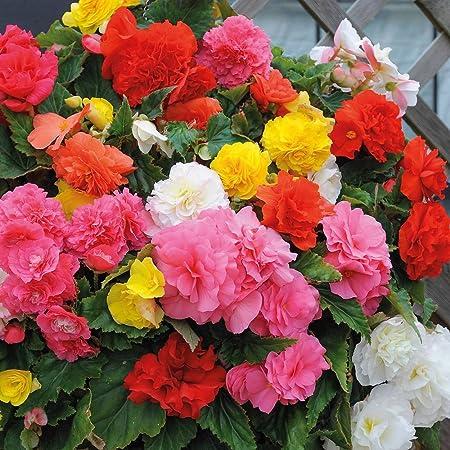 Amazon Com 30 Begonia Mix Flower Seeds Drought Tolerant