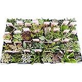 【特選多肉苗セット販売】多肉植物ミックス 40ポットセット(2.5号) 【まとめ売り】