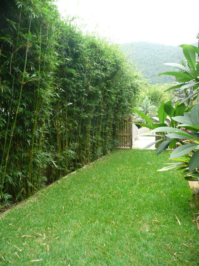 Graceful Bamboo - Slender Weavers - Textilis Gracilis - Live Plant - Fast Growing Evergreen Privacy Hedge by Florida Foliage (Image #8)