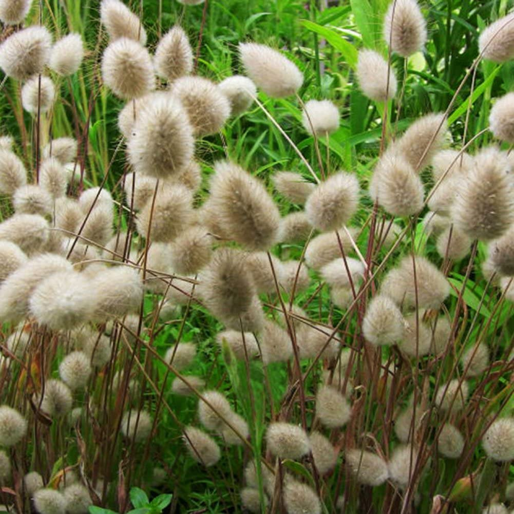 Jiacheng29 100Pcs Lagurus Ovatus Colorful Bunny Tail Grass Garden Ornamental Bonsai Seeds Plant