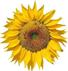 Burpee Mammoth Russian Sunflower Seeds 200 seeds