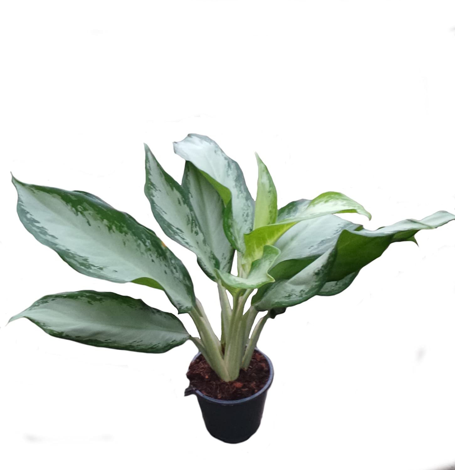 Aglaonema Cleopatra House Office Plant in a 17cm Pot. Chinese Evergreens Perfect Plants
