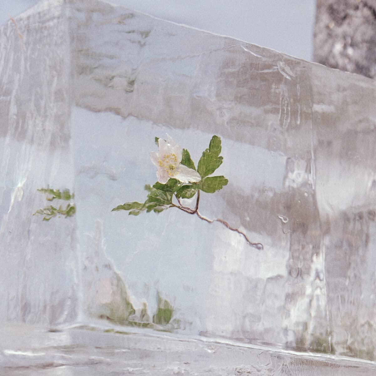 Efterklang Windflowers