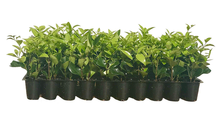 Ligustrum Waxleaf Privet Qty 30 Live Plants Evergreen Privacy Hedge