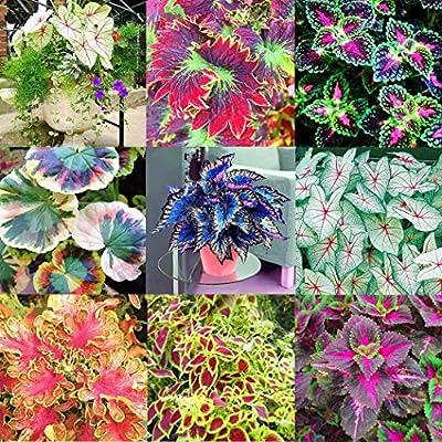OYTRO 100pcs/Bag Coleus Seeds Bonsai Flower Leaf Plants Rainbow Dragon Seeds Garden Flowers : Garden & Outdoor