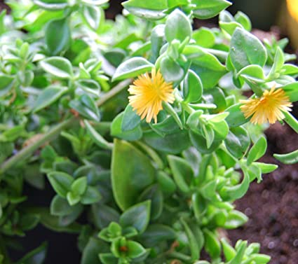Amazon Sun Jewel Yellow Sun Flower Rose Succulent Aptenia