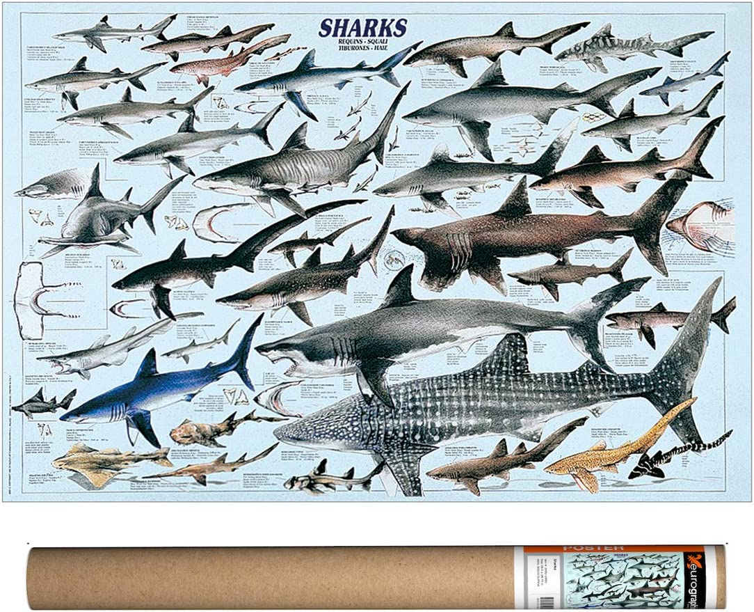 EuroGraphics Sharks Poster, 38.5 x 26.75 inch