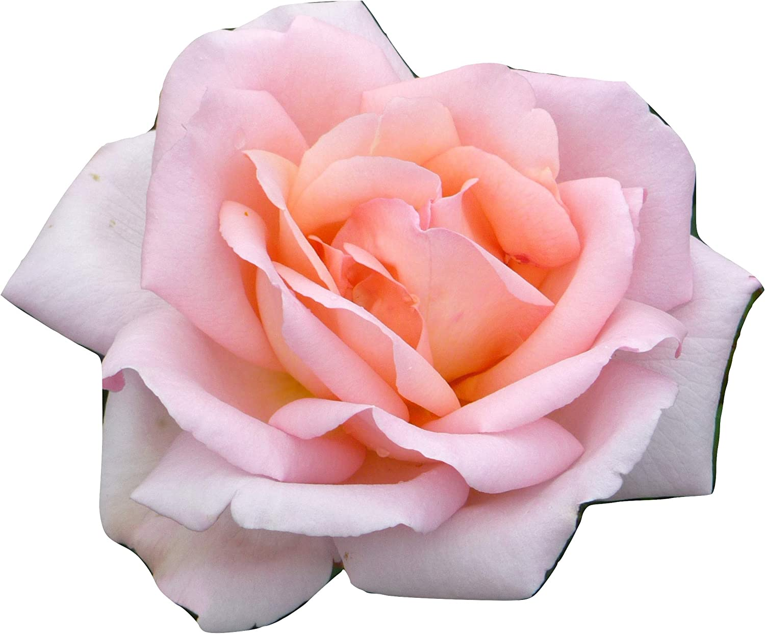 ROSE SPECIAL FRIEND Superb Birthday Plant /& Flower For Birthdays /& All Occasions
