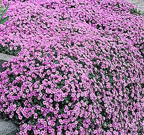 (BIG PACK GROUND COVER - Alyssum PURPLE Royal Carpet Seeds, (10,000) Lobularia maritima Seed - FRAGRANT BLOOMS - Non-GMO Seeds by MySeeds.Co (BIG PACK - Alyssum Royal Purple))