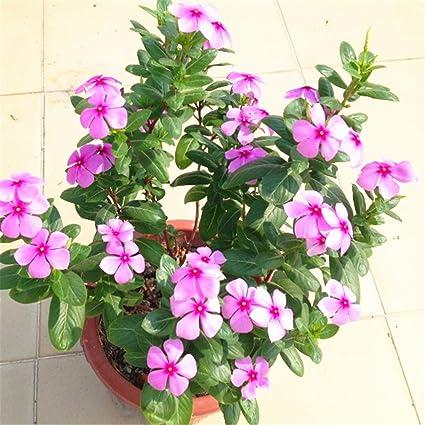 Amazon vinca madagascar periwinkle dark pink flower 100 pcs vinca madagascar periwinkle dark pink flower 100 pcs seeds mightylinksfo