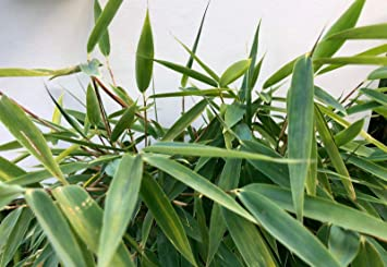 Amazon Com Wonderful Bambus Fargesia Fungosa 15 Seeds Winter