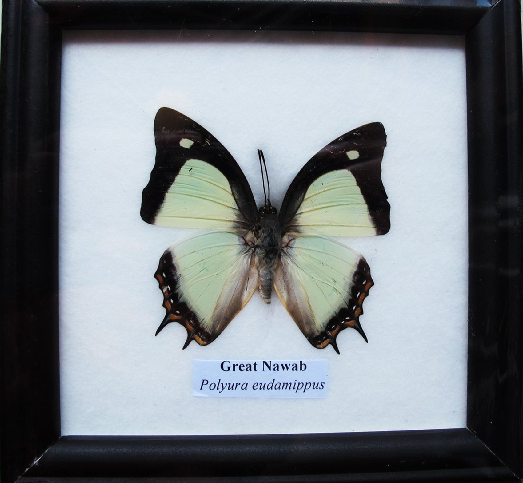 Insectfarm Framed Real Beautiful Great Nawab Butterfly Specimen Collection Display Insect Taxidermy (BTF01V) by Insectfarm