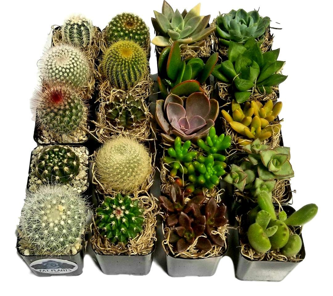 Fat Plants San Diego Miniature Flowering Cactus and Succulent Plant Collection (20) by Fat Plants San Diego