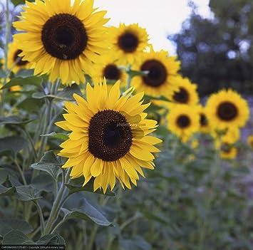 Tall Sun Flower Seeds (Pack of 2) by Kraft Seeds