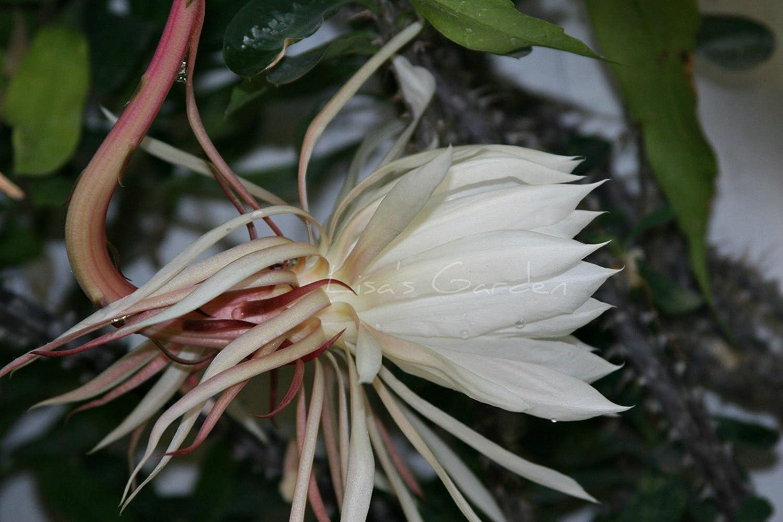 Image Led Grow Epiphyllum Cactus 14