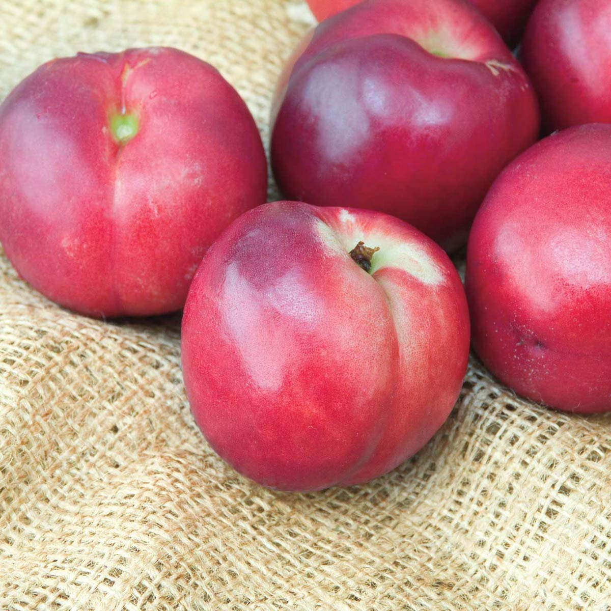 Nectarine Yumm Yumm REACHABLES Bare Root Fruit Tree - Enjoy Nectarines with Needing a Ladder to Maintain! Includes 1 Tree per Order. Due to regulations Can't Ship to AL AR CA CO ID LA MS OR WA by Gurneys (Image #1)