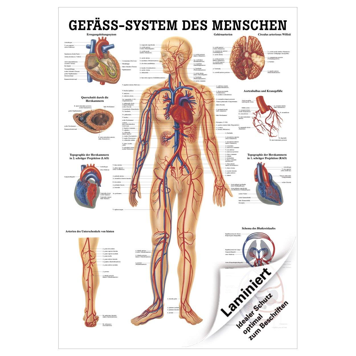 Das Gefäßsystem Lehrtafel Anatomie 100x70 cm medizinische Lehrmittel ...