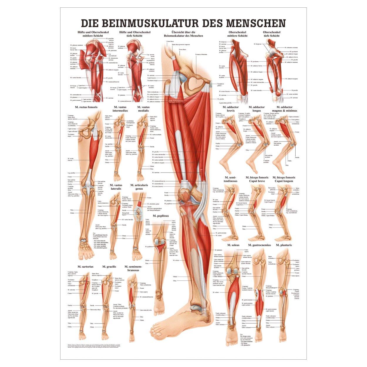 Niedlich Beinmuskulatur Anatomie Galerie - Physiologie Von ...