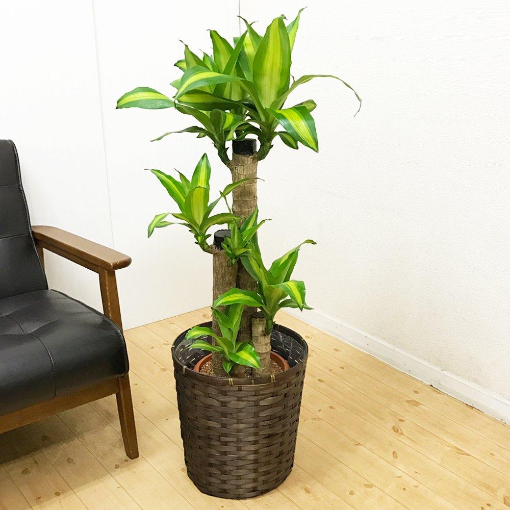 幸福の木 マッサン 鉢カバー付 8号 観葉植物 インテリア 中型 大型 お祝い 自宅用 プレゼント B013HVO94Q