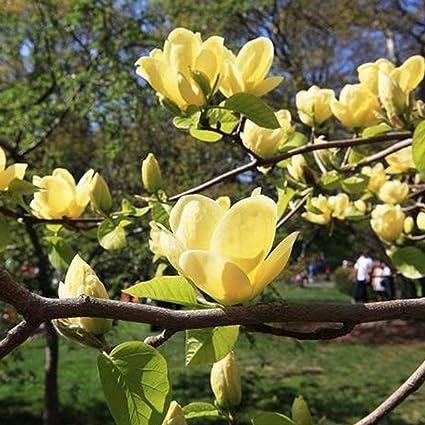 FastDirect Semillas de Magnolia Multicolor Semillas de Flores 10 PCS Semillas de Arboles para Jardin,