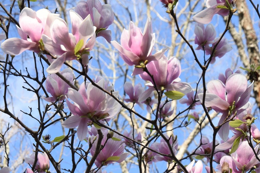 ALEXANDRINA Magnolia Tree - Size: 3 Gallon, Live Plant, Includes Special Blend Fertilizer & Planting Guide by PERFECT PLANTS (Image #3)