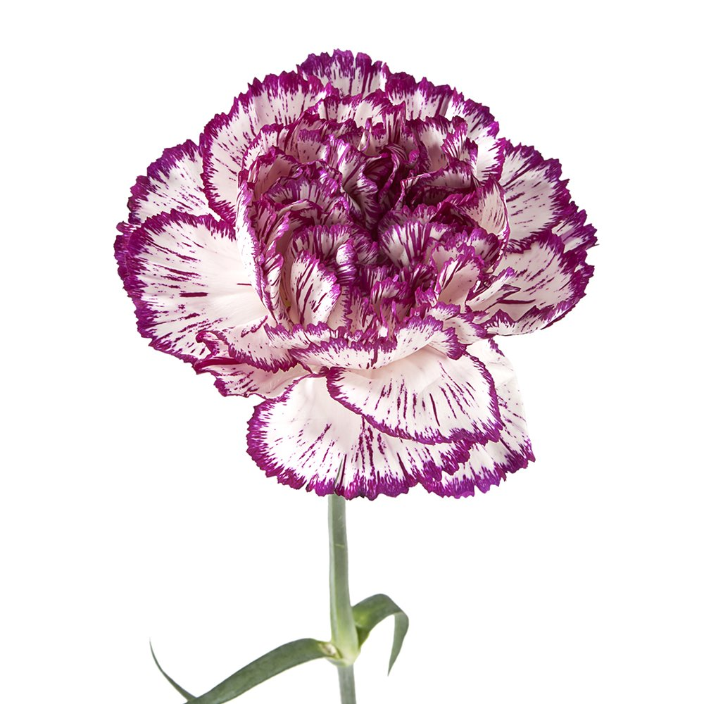 Wholesale Carnations (300 Bicolor Purple)