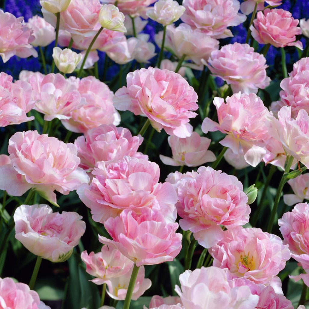 Van Zyverden Tulips Angelique Set of 12 Bulbs by VAN ZYVERDEN