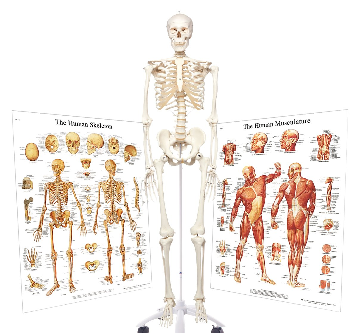 3b Scientific 3009200 Standard Human Skeleton With Skeletal System