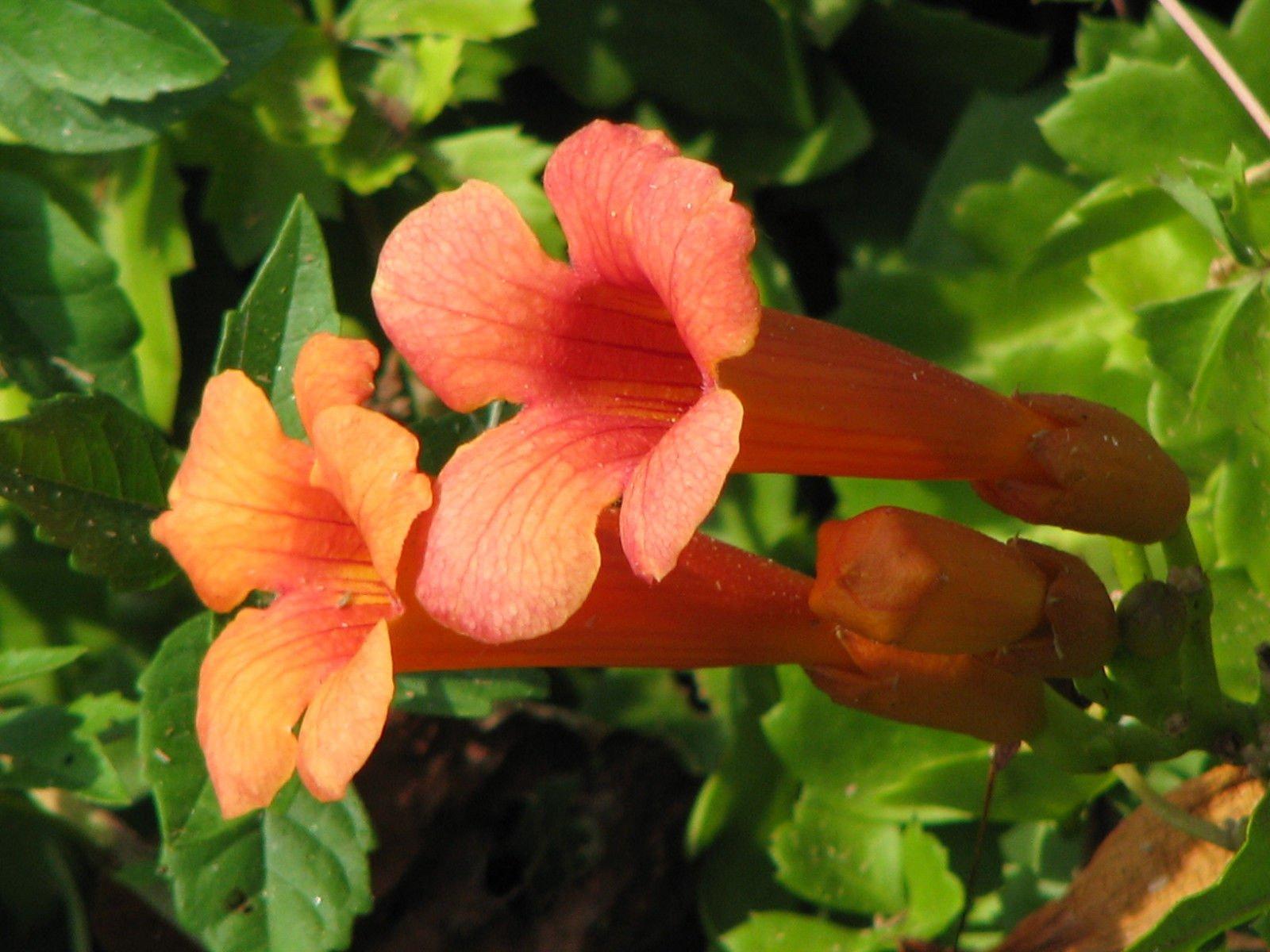 trumpet, or HUMMINGBIRD VINE, orange/ red flower, 40 seeds