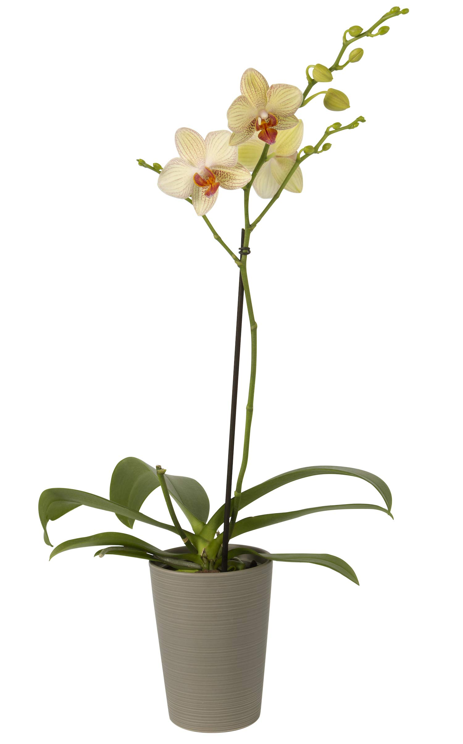 Color Orchids Live Blooming Single Stem Phalaenopsis Orchid Plant in Ceramic Pot, 20'' x 24'' Tall, Yellow Blooms